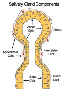 Anatomy Of The Parotid & Submandibular Glands & Ducts | Dr. Larian
