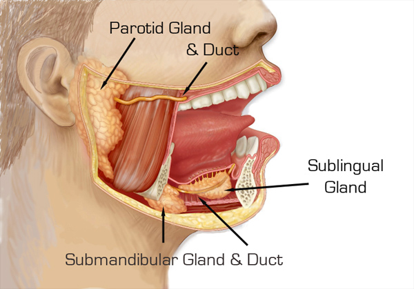 anatomy of the parotid & submandibular glands & ducts | dr. larian, Skeleton